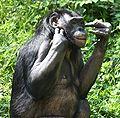 Bonobo4 CincinnatiZoo.jpg