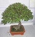 Bonsai of Elephant Bush 09.jpg