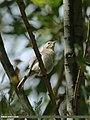 Booted Warbler (Iduna caligata) (15273492914).jpg