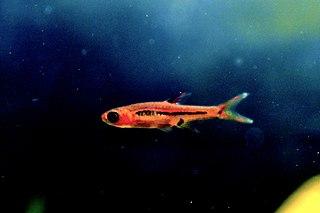 <i>Boraras brigittae</i> species of fish