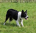 Border Collie herding.jpg