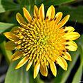 Borrichia frutescens (Bushy seaside oxeye) (7028865977).jpg