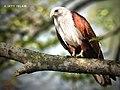 Brahminy kite-Bangladesh.jpg