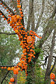Branch of Pumpkins (21777623493).jpg
