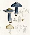 Bresadola - Entoloma bloxamii und prunuloides.png