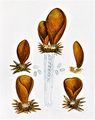 Bresadola - Otidea leporina.png
