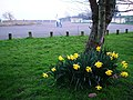 Broadsands beach car park - Daffodils - geograph.org.uk - 709980.jpg