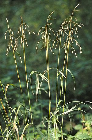 Bromus - Bromus pubescens
