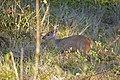 Brown Brocket (Mazama gouazoubira) male (28759957253).jpg
