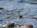 Brown Dipper - Cinclus pallasii - P1050336.jpg