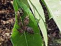 Brown marmorated stink bug nymphs instar.jpg