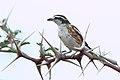 Brubru, Nilaus afer, at Marakele National Park, Limpopo, South Africa (45888302505).jpg