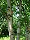 Brzoza paierowa Betula papyrifera