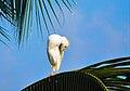 Bubulcus ibis(Héron garde - boeufs).jpg