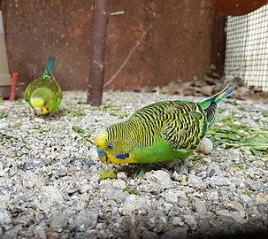 Budgerigar, Central zoo of Nepal.jpg