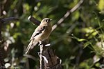 Buff-breasted Flycatcher - Hunter Canyon.jpg