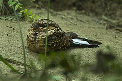 Buff-collared Nightjar.jpg