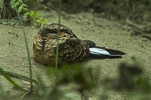 Buff-collared nightjar - Image: Buff collared Nightjar