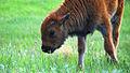 Buffalo calf (9269418323).jpg