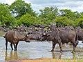 Buffaloes (Syncerus caffer) at waterhole (12751003814).jpg