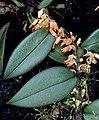 Bulbophyllum schillerianum.jpg