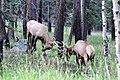 Bull Elk (5499630863).jpg