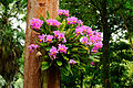 Bunch of Orchids @ Waimea Valley (5216395661).jpg