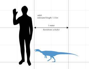 Una comparación de tamaño entre un humano promedio y un espécimen de Schultzi de Buriolestes.