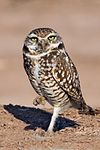 Burrowing Owl - natures pics 2