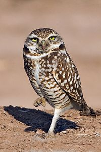 Burrowing Owl - natures pics 2