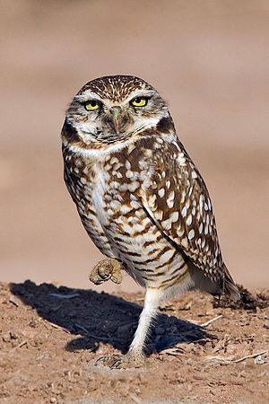 Burrowing Owl, Gentry Road, Near Niland, Calif...