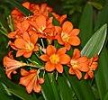 Bush Lily (Clivia miniata) (32603733520).jpg