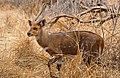 Bushbuck (Tragelaphus scriptus) male (33144671965).jpg