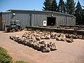 Bushel Bags of Cones beside the Drying Tables (3821446812).jpg