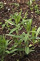 Butterfly Weed Asclepias tuberosa Young Stalks 2000px.JPG