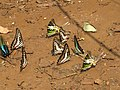 Butterfly mud-puddling at Kottiyoor Wildlife Sanctuary (20).jpg