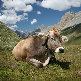 Cattle - A Swiss Braunvieh cow wearing a cowbell
