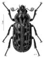 COLE Lucanidae Mitophyllus parrianus.png