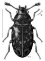 COLE Mycetophagidae Nototriphyllus hispidellus.png