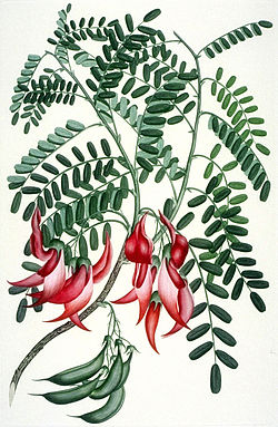 definition of clianthus