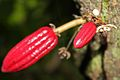 Cacao Fruit (Theobroma cacao) (8597925390).jpg