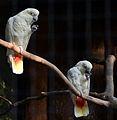 Cacatua haematuropygia Parc des Oiseaux 21 10 2015 3.jpg