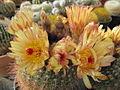 Cactus flowers (4538895644).jpg