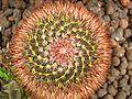Cactus in Helsinki Winter Garden spirals 13.jpg