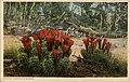 Cactus in bloom. Fred Harvey series. (NBY 21916).jpg