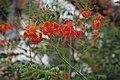 Caesalpinia pulcherrima (লাল রাধাচূড়া).jpg