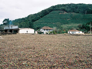 Coffee production in Brazil - Coffee beans drying in the sun, Alto Jequitibá, Minas Gerais
