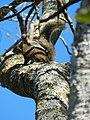 Caginguelê camuflado.jpg