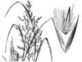 Calamagrostis canadensis var. langsdorfii HC-1950.png
