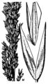 Calamagrostis pickeringii HC-1950.png
